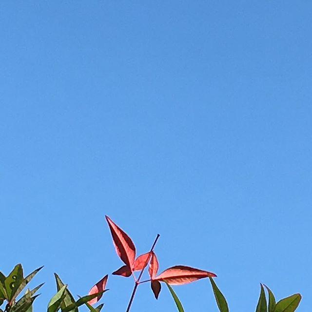 昨日とうってかわって、さわやかな新年の空。宇宙では何も変わらない通常の1日が始まりました。今日ものんびりいきましょう #イマソラ #mysky #sky #fine #blue #leaf #red #newyear #newyear2016