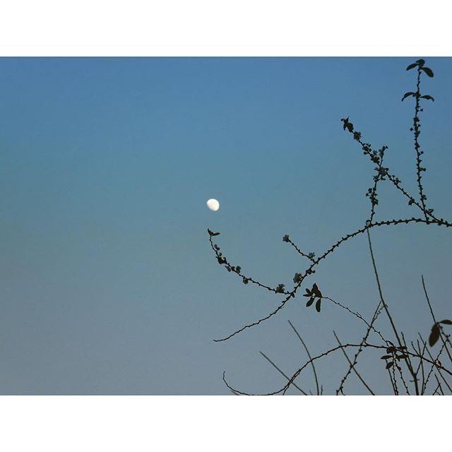 夕方はお月さまと遊んでいました。今日も無事終わりました。お疲れ様です。ユキヤナギ、ちらちら咲いてますよ。#イマソラ #mysky #sky #fine #evening #moon #branch #spiraea #winter #ユキヤナギ #雪柳
