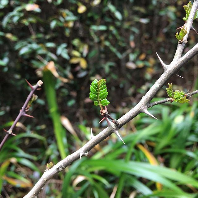 一気に芽が出て来ました!山椒の木。#tree #japanese #pepper #sansho #thorns #prickles #green #spring #leaf #bud