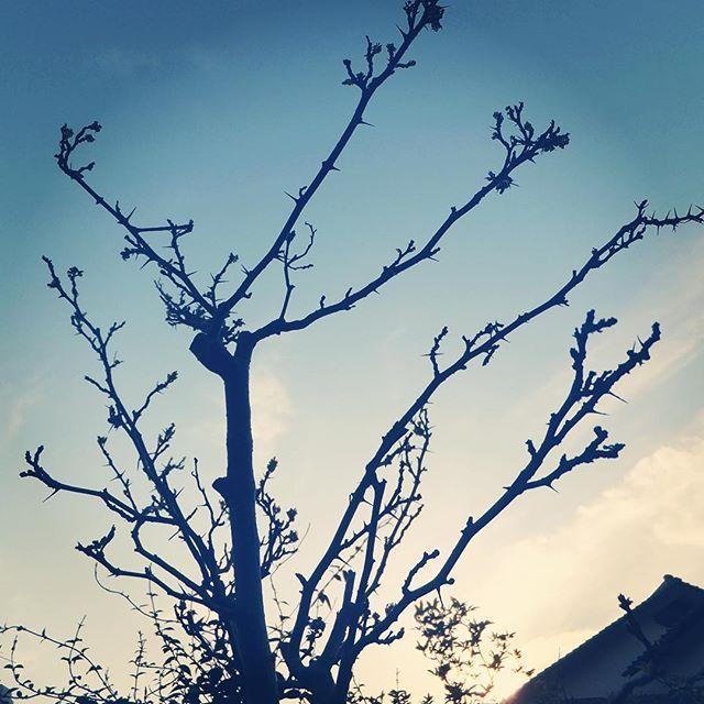 おはようございます。山椒の芽もだいぶ出て来ました。今日も元気に行ってらっしゃい!#イマソラ #mysky #sky #fine #sunrise #japanese #pepper #tree #sansho #spring #山椒