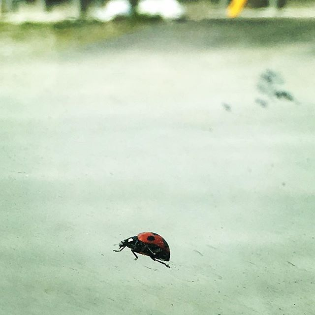 あら、かわいいお客様!#bug #insect #ladybug #window #spring #march
