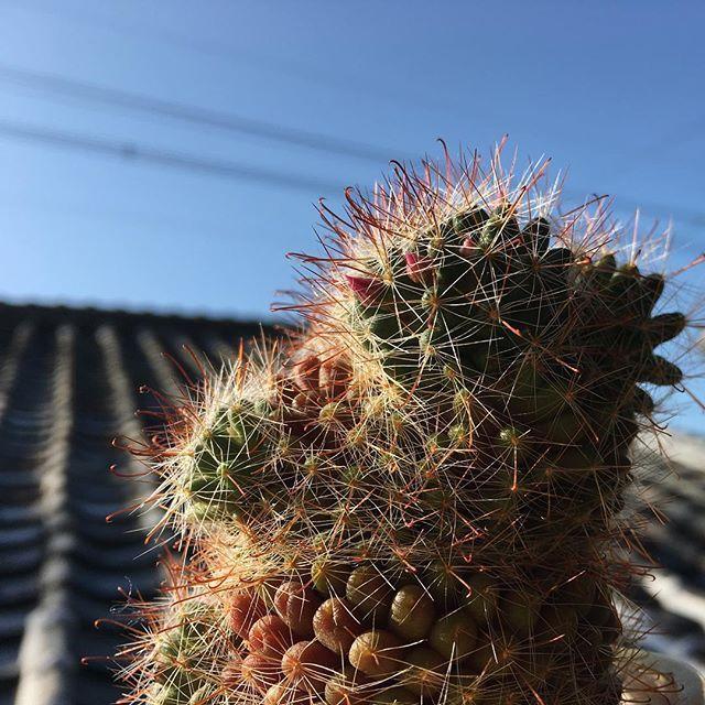 おはようございます。またまたこの季節がやってきました。ますます不恰好になったサボ子さんですが、そろそろ頭に花が咲きそうです。今年も無事冬を越せました。#イマソラ #mysky #sky #fine #blue #cactus