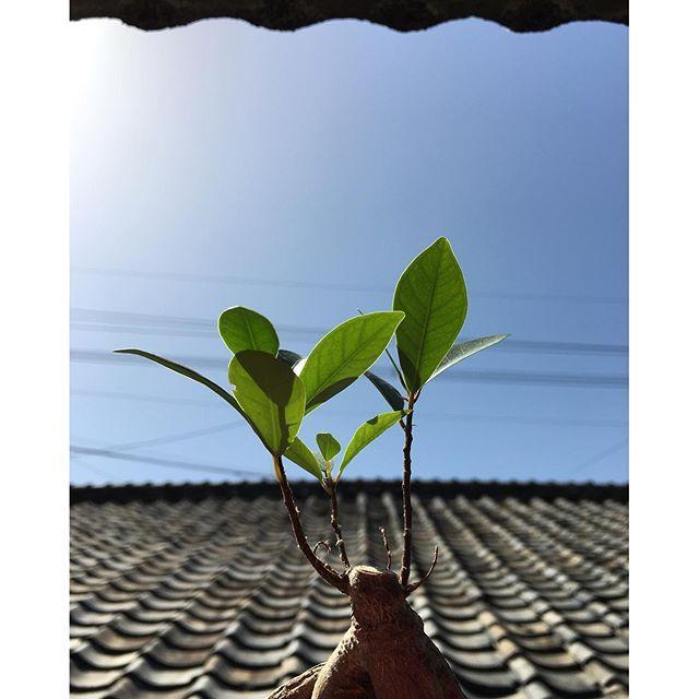 おはようございます。余震は続いていますが、今日はさわやかな青空です。せっかく芽吹きだした窓際のこの子たちが無事でよかった。我が家も無事です。気をつけて、今日は片付けます。#イマソラ #mysky #sky #blue #fine #green #banyan #japanese #roof