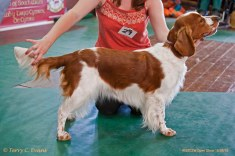 JUNIOR BITCH: Benoveor Field Of Dreams To Kurzeja. Welsh Springer Spaniel Club of South Wales Open Show 18-09-2016, held at Chepstow, Wales.