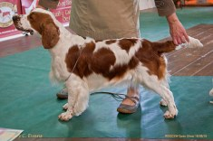 YEARLING BITCH: Jacranella Serenade. Welsh Springer Spaniel Club of South Wales Open Show 18-09-2016, held at Chepstow, Wales.
