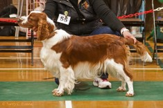 Maiden Dog - Menstonia Masterstroke. Welsh Springer Spaniel Club of South Wales Championship Show 26-03-2016, held at Chepstow, Wales.