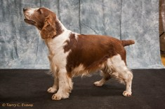 Veteran Dog - Menstonia Mahler at Benmorbry. Welsh Springer Spaniel Club of South Wales Championship Show 26-03-2016, held at Chepstow, Wales.