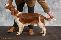 Minor Puppy Bitch - Glenbrows Hearts Wish. Welsh Springer Spaniel Club of South Wales Championship Show 26-03-2016, held at Chepstow, Wales.