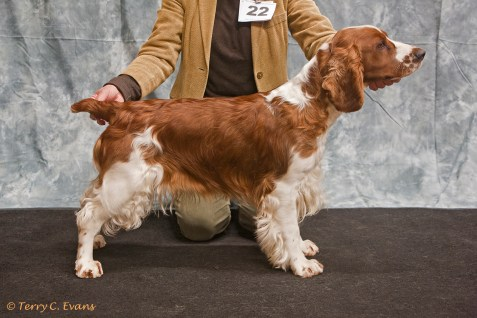 Graduate Bitch - Ambika Tranquil Spirit for Benmorbry. Welsh Springer Spaniel Club of South Wales Championship Show 26-03-2016, held at Chepstow, Wales.