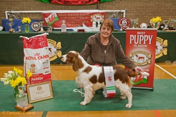 Best Puppy in Show - Pamicks Field Of Dreams with owner Pam Tew. Welsh Springer Spaniel Club of South Wales Championship Show 26-03-2016, held at Chepstow, Wales.