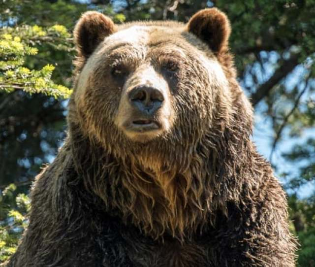 Trapper Shot Attacking Bear And Then Discovered It Had Already Killed His Family