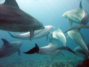1024px-Dolphins_gesture_language