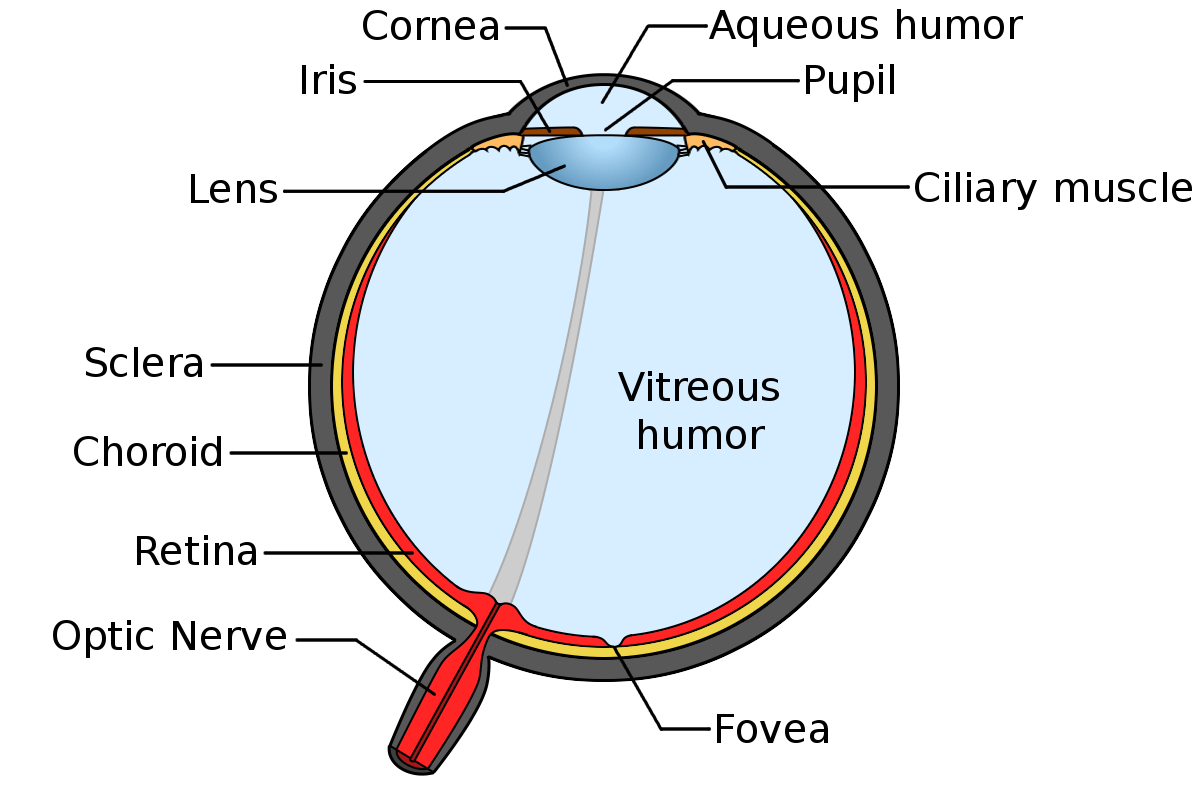 Parts Of The Eye Parrelli Optical