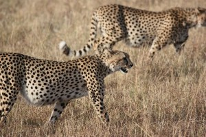Cheetahs and Genesis_02