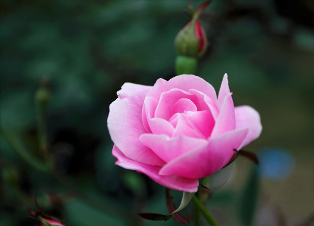 Beautiful pink rose love whatsapp dp image