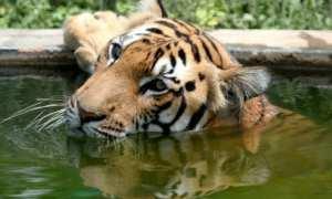 Tiger captivity in India