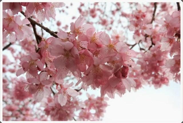 【2014武陵春遊】把握春天的腳步,浪漫武陵賞櫻 @吳大妮。Annie