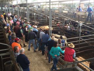 Bairnsdale store cattle sale