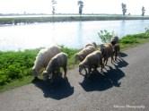 sheep on the street