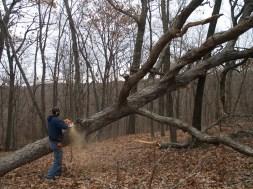 Scott bucking white oak log to length WunderWoods