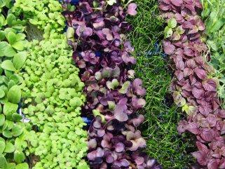 Microgreens: Das neue Superfood | Mein schöner Garten