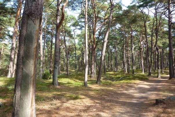 Prerow Wald Bäume Leuchtturm Betonplatten