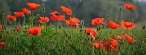 """Though Poppies Grow in Flanders Fields,"" a Time of Remembrance and Reflection"