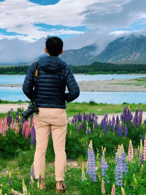 Lupins blooming along Lake Tekapo