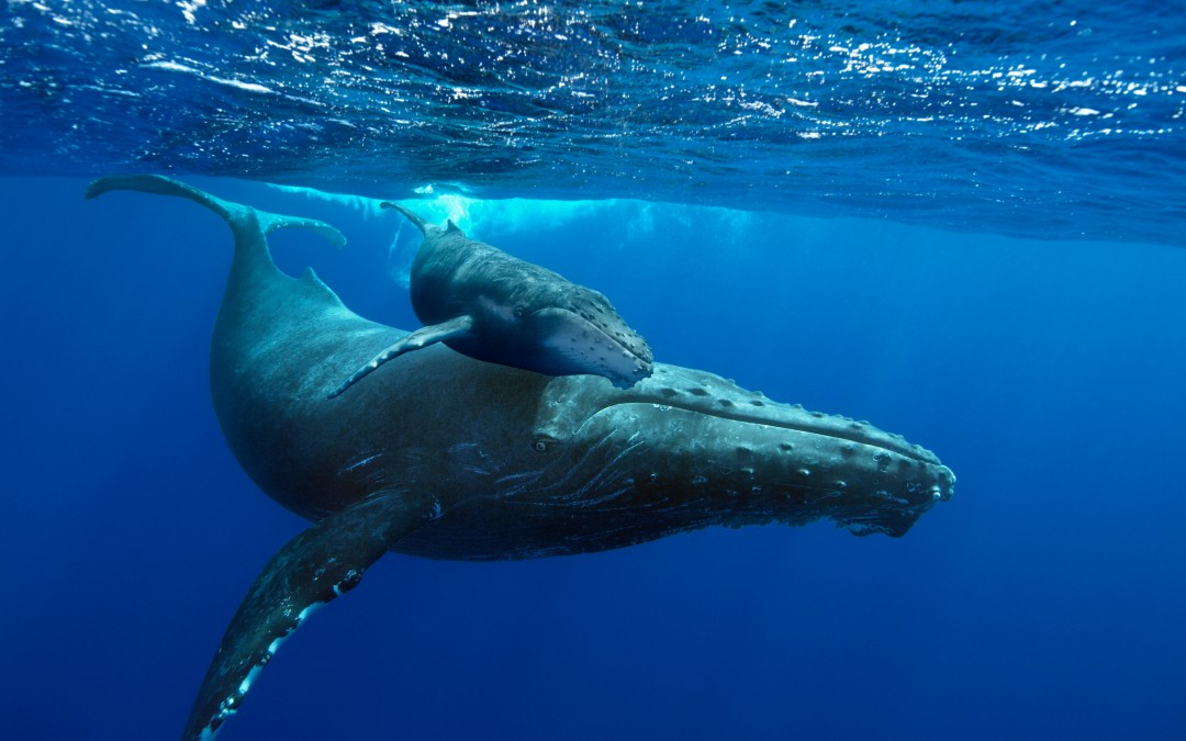 Humpback Whales at the IMAX