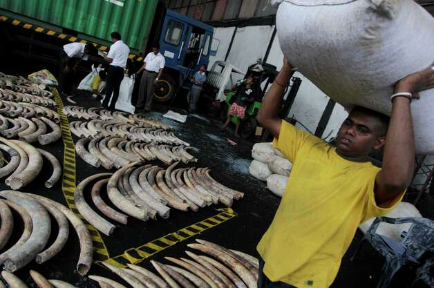 A Sri Lankan worker carrying a sack walks past seized elephant tusks at a customs warehouse in Colombo, Sri Lanka, Tuesday. The Sri Lankan customs officials Tuesday seized 400 tusks of African elephants at the Colombo Port from a Dubai bound transit cargo, customs officials said. (AP Photo/Eranga Jayawardena) Photo: Eranga Jayawardena, Associated Press / AP2012