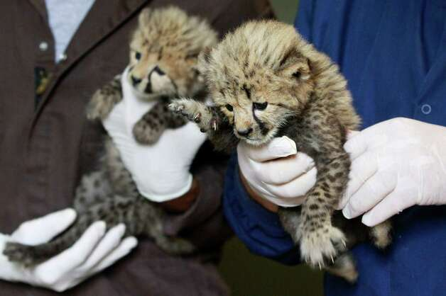 A 1-month-old female cheetah cub, left, delivered via a rare caesarian section, and her brother, right, delivered naturally but then abandoned by their mother, are held by their keepers after a feeding at the National Zoo in Washington, Wednesday. (AP Photo/Jacquelyn Martin) Photo: Associated Press / SL