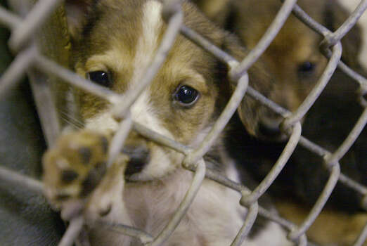"""Does San Antonio's """"no-kill"""" goal bring unintended, detrimental consequences for some animals? Photo: File Photo, San Antonio Express-News"""