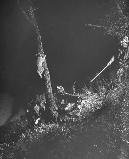 Fred Gipson and dogs running coon up a tree during hunt, 1949.