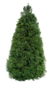 Green Valley Christmas Trees Meets Customer Demand For Purchasing Real Trees Online