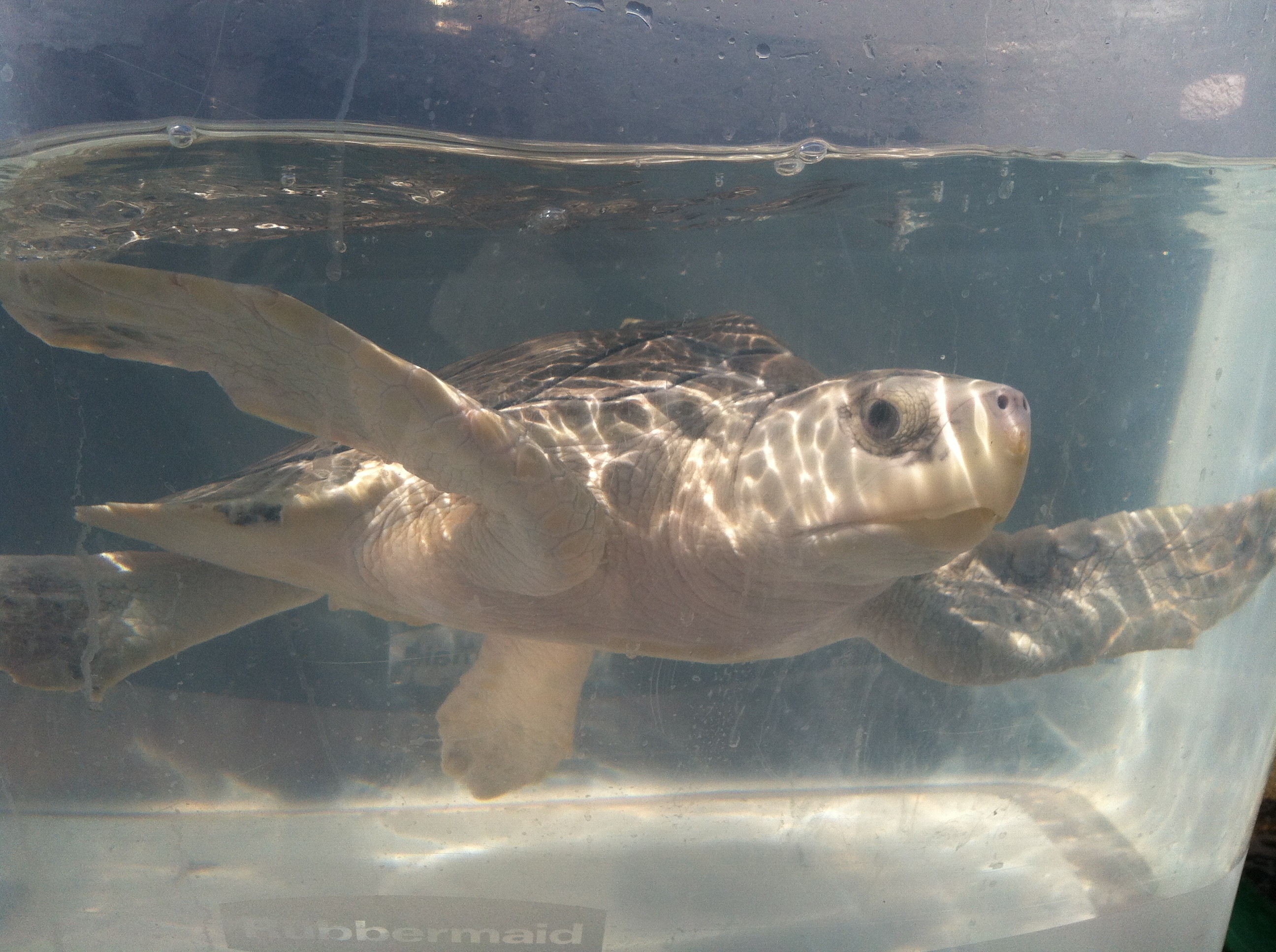 Fourth Sea Turtle Cleared For Release After Treatment At
