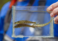 • A trio of Common Logperch rest in an Aquarium. The Tennessee Aquarium collected two dozen of these darters from South Chickamauga Creek. Their captive bred and raised offspring will be sent to the Cumberland River Aquatic Center to serve as hosts for the larvae of endangered freshwater mussels.