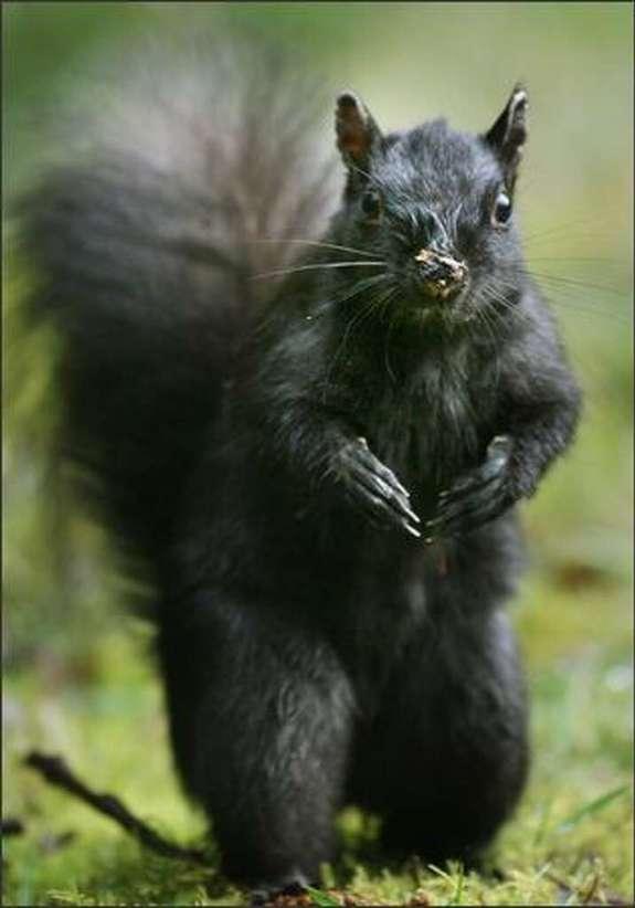 One of Stanley Park's black squirrels. Photo: DAN DELONG/P-I