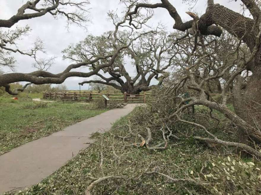 The Big Tree, a live oak that is more than 1,000-years-old survived Hurricane Harvey's landfall near Goose Island State Park. See more images of the flooding caused by Harvey.  Photo: Texas Department Of Parks And Wildlife