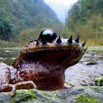 For one month a year, male mustache toads grow facial spikes to fight rivals for nesting sites.