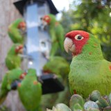 Where Did the Wild Parrots of San Francisco Come From?