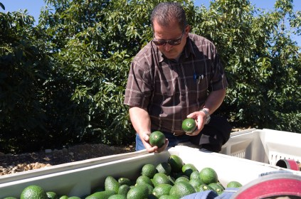 """Brokaw Ranch Company manager Jose Alcaraz checks avocados in a collection bin. The US citizen, who immigrated from Mexico decades ago, says it's not just unauthorized workers who are worried by threats of an immigration crackdown, but business who rely on them. """"We are in the same boat,"""" he says, """"we need each other, so we are concerned - if they are concerned, we are concerned too."""""""