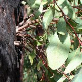 Eucalyptus: California Icon, Fire Hazard and Invasive Species