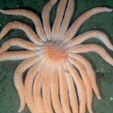 What We Know -- And Don't Know -- About the Sea Star Die-Off