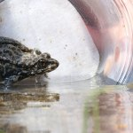 Can a New 'Vaccine' Stem the Frog Apocalypse?