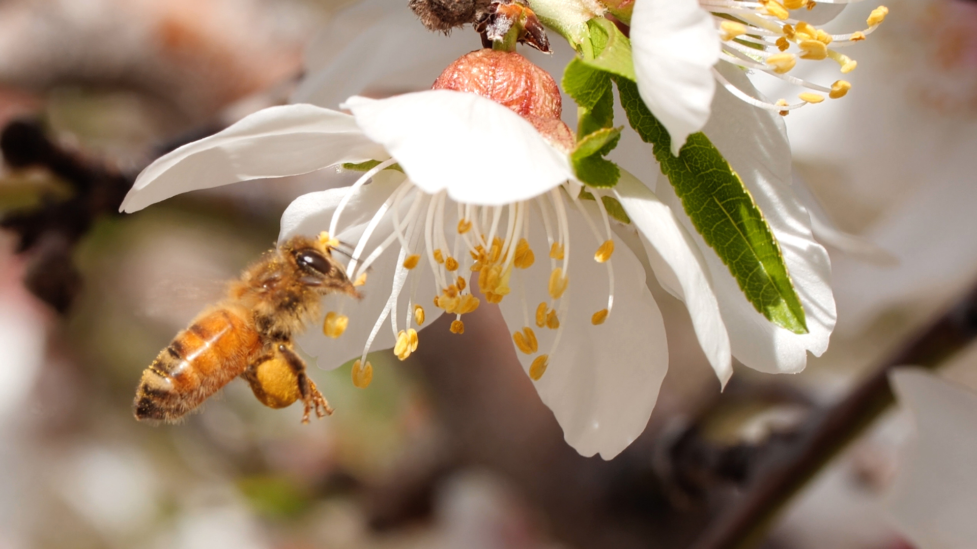Honey Bees Make Honey And Bread Kqed