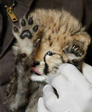 After being fed milk from a bottle, a 1-month-old female cheetah cub, that was delivered via a rare caesarian section, has her face cleaned by cheetah keeper Gil Myers at the National Zoo in Washington, Wednesday. (AP Photo/Jacquelyn Martin) Photo: Associated Press / SL