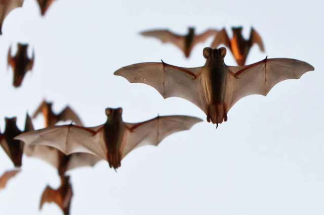 The Waugh Bridge is home to approximately 250,000 Mexican free-tailed bats. Photo: MARVIN PFEIFFER, STAFF / Prime Time Newspapers 2011