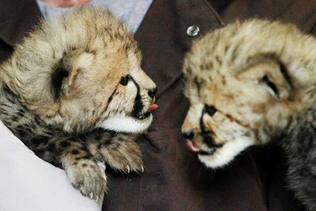 A 1-month-old female cheetah cub, left, delivered via a rare caesarian section, and her brother, delivered naturally but then abandoned, lick off what's left of their meals after a feeding at the National Zoo in Washington, Wednesday. The cubs are expected to go on public view in late summer. (AP Photo/Jacquelyn Martin) Photo: Associated Press / SL
