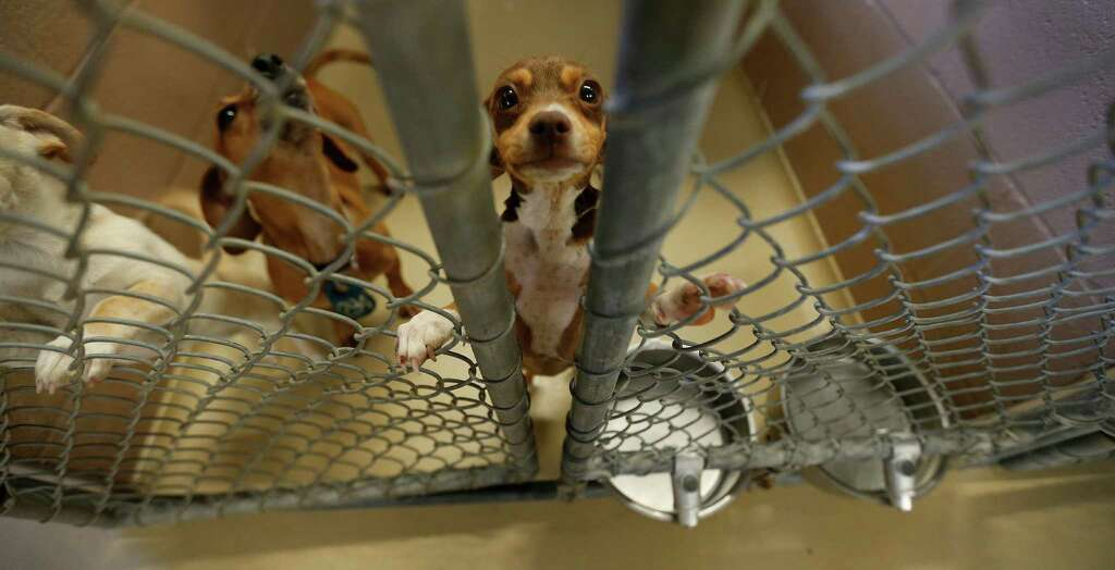 """If 80 to 100 animals come in here every day, 80 to 100 have to go out,"" says Dr. Michael A. White, who supervises the crew that euthanizes animals. Photo: Karen Warren, Houston Chronicle / © 2015 Houston Chronicle"