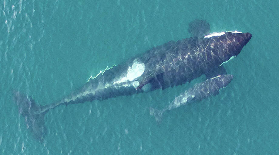An overhead image of the newest member of the Southern Resident killer whale population, L122, just days after being born to first-time mother L91. Photo: NOAA, Vancouver Aquarium